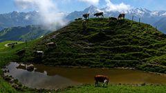 Kühe im Zillertal