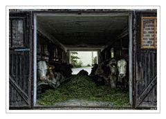 Kühe mit Durchblick... :-)