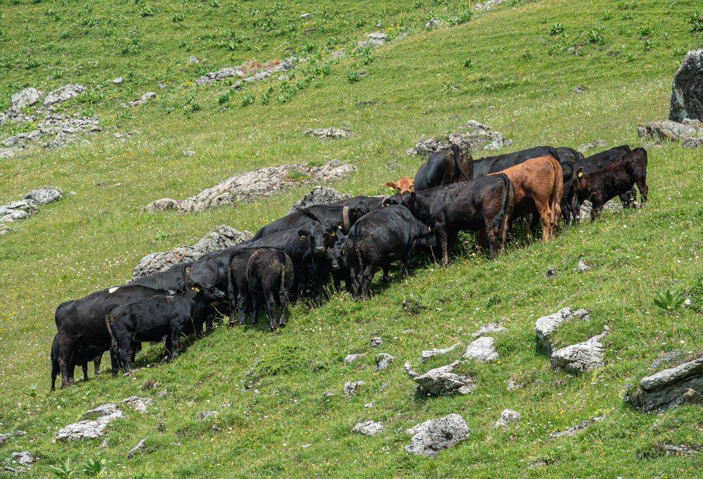 Kühe und Rinder auf der Alp