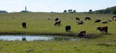 Kühe warten auf das was kommt