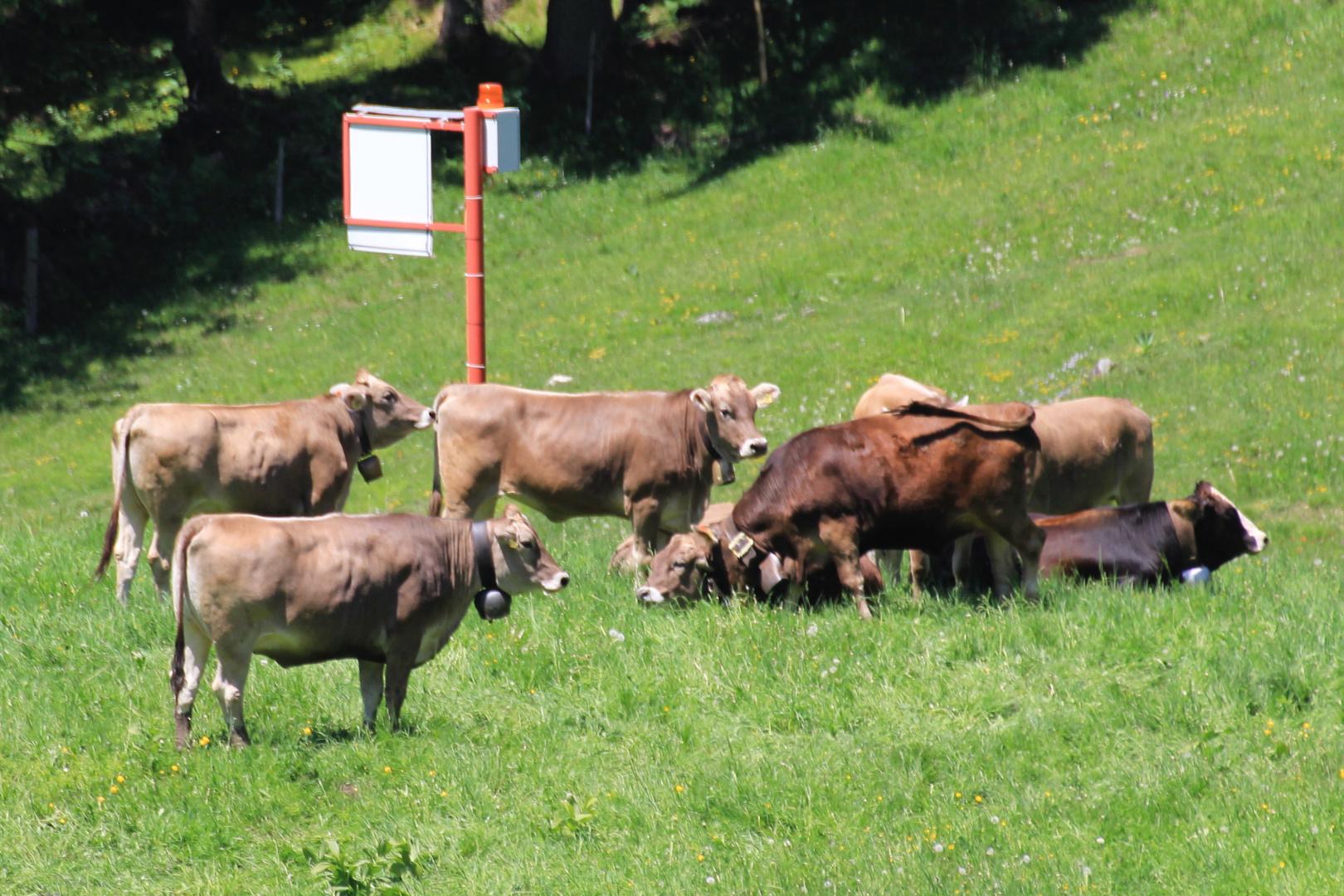 Kühe - wir warten auf den Bus