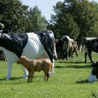 Kühe....einmal anders