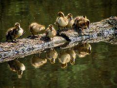 Küken Familie