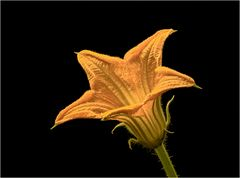 Kürbisblüte