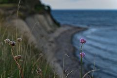 Küstenblume