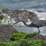 Küstenreiher ~ egretta gularis