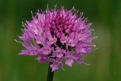 Kugel Orchis