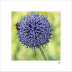 Kugeldistel mit Biene