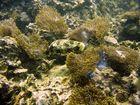 Kugelfisch und Anemonen
