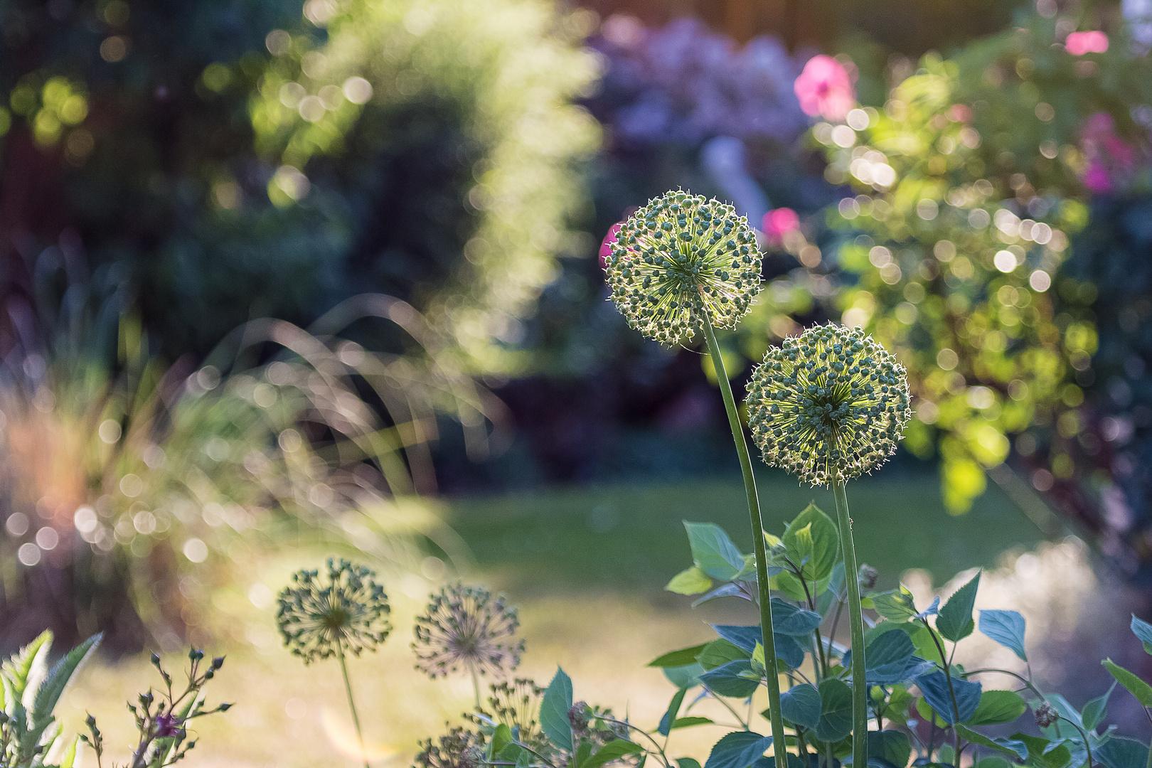 Kugellauch (Allium Giganteum)