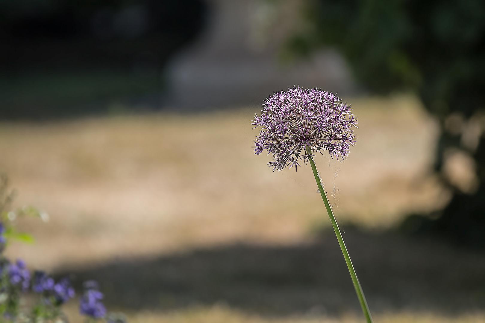 Kugellauch in Rosa (Allium Giganteum)