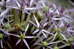 Kugellauch violett