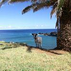 Kuh am Ende der Welt (Rapa Nui)