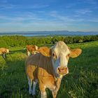 Kuh auf der Ilkahöhe