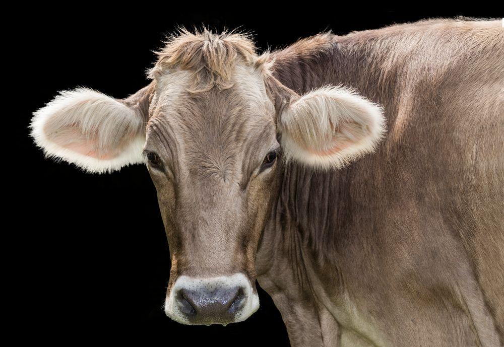 Kuh freigestellt