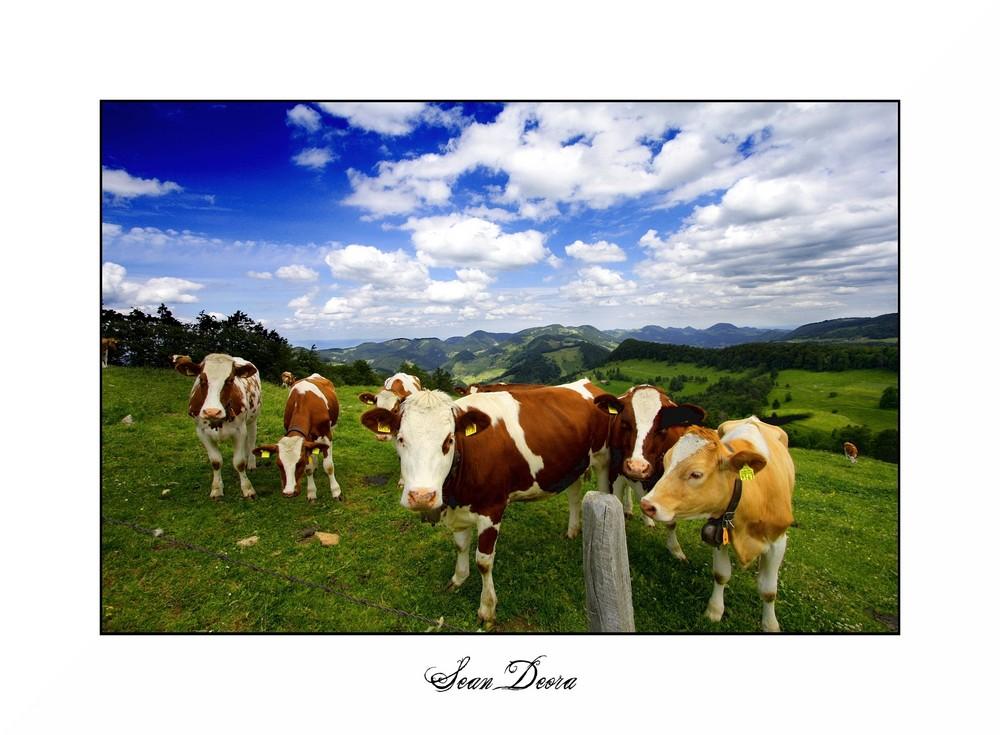 Kuh-Gang auf dem Erzberg