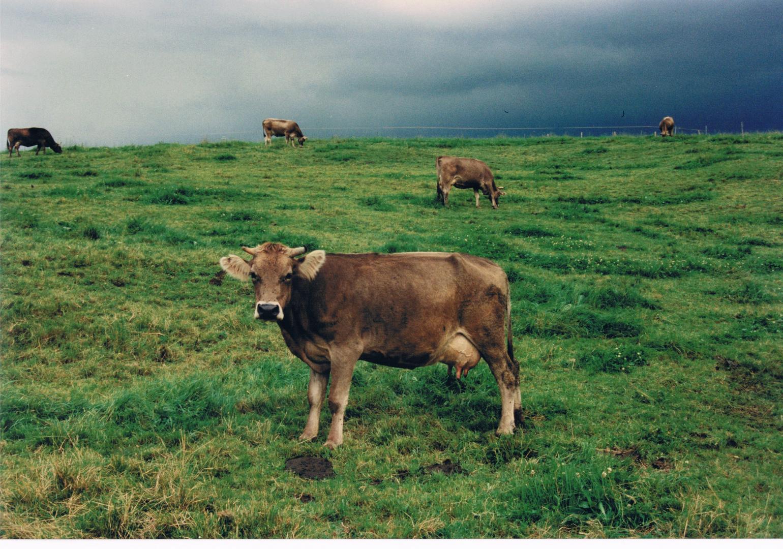 Kuh im Allgäu