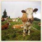 Kuh im Quadrat
