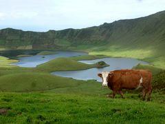 Kuh im Vulkan auf Corvo