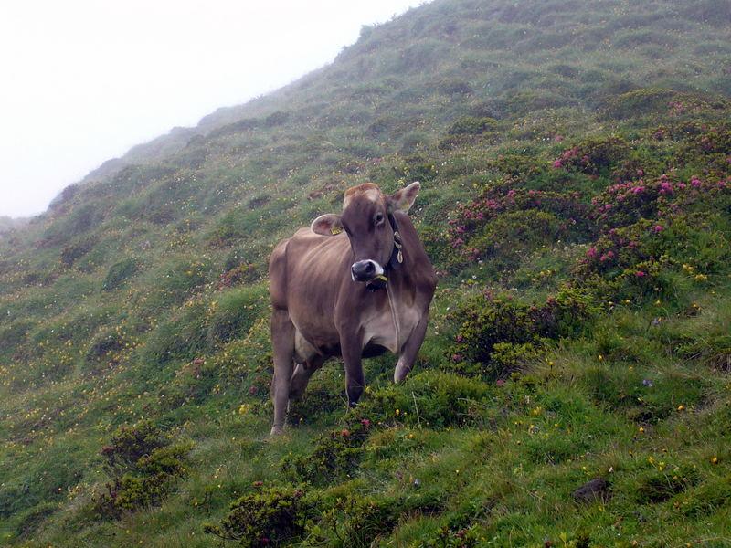 Kuh in den Schweizer Alpen