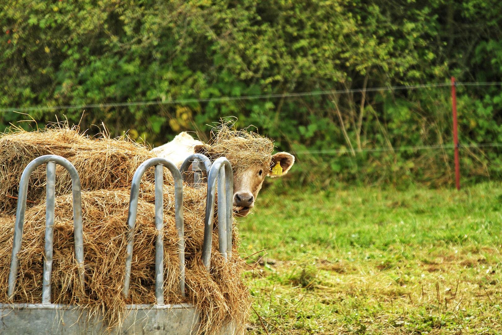 Kuh mit Hut
