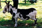 Kuh oder Esel?