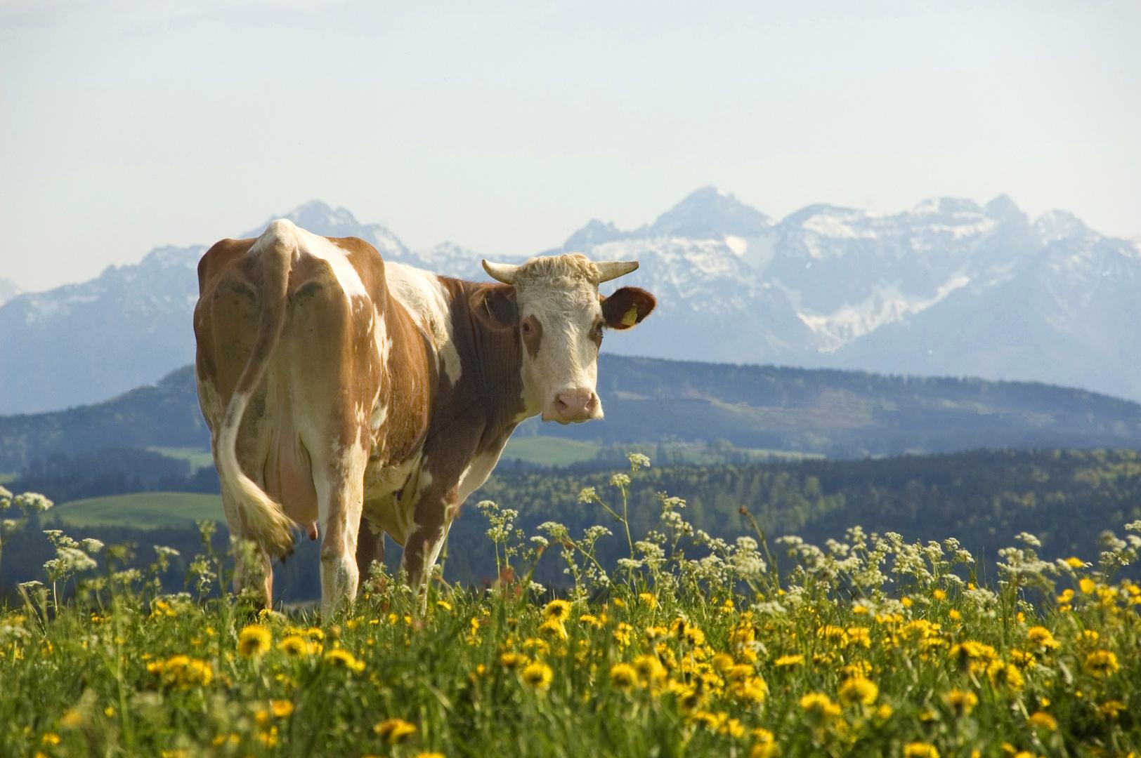 Kuh vor Alpenkulisse