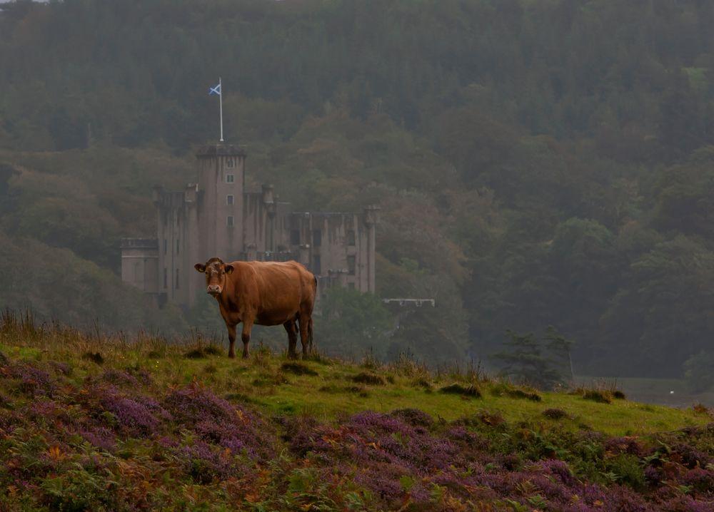 Kuh vor Castle