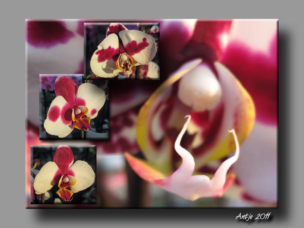 Kuhflecken-Orchidee