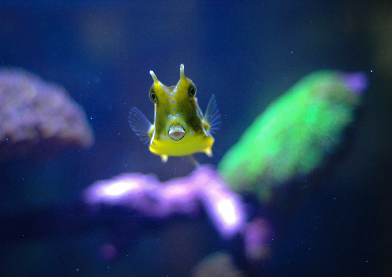 Kuhkofferfisch