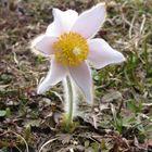 Kuhschelle - Blütenstand