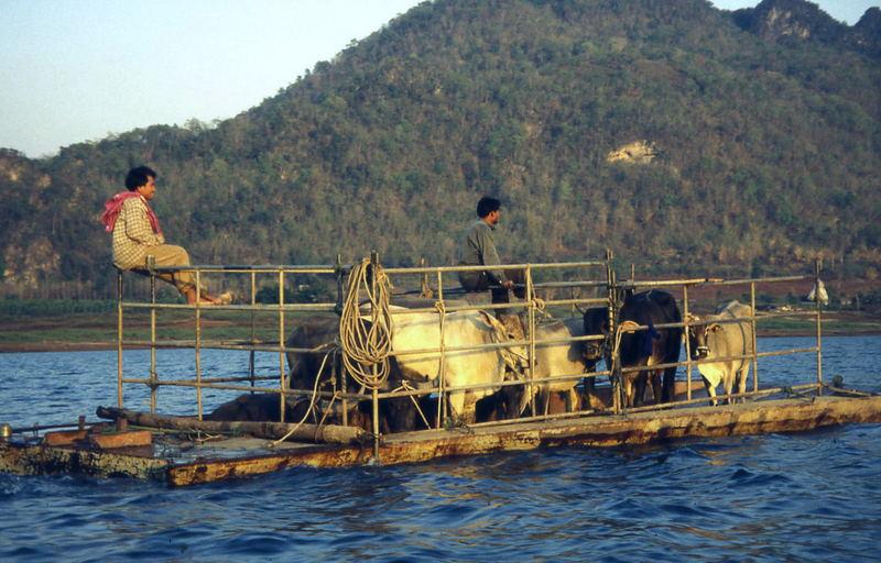 Kuhtransport in Thailand