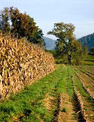 Kukuruz (Mais) im Herbst ...
