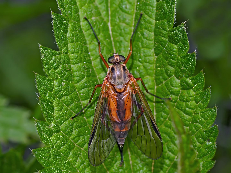 Kunstvoll gezeichnete Schnepfenfliege (Rhagionidae) (1) - Même les mouches ont leur charme!