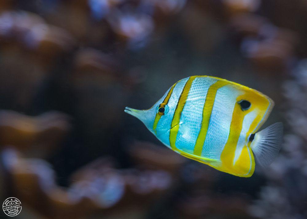Kupferstreifen-Pinzettfisch (Chelmon rostratus)..