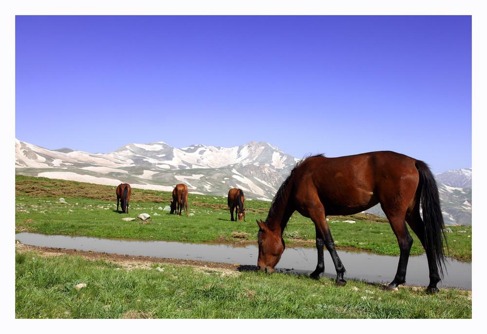 Kurdistan-Horses