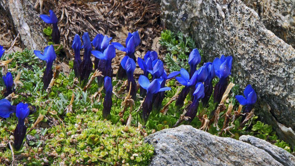 Kurzblättriger Enzian-Gentiana brachyphylla  sage ich hier....