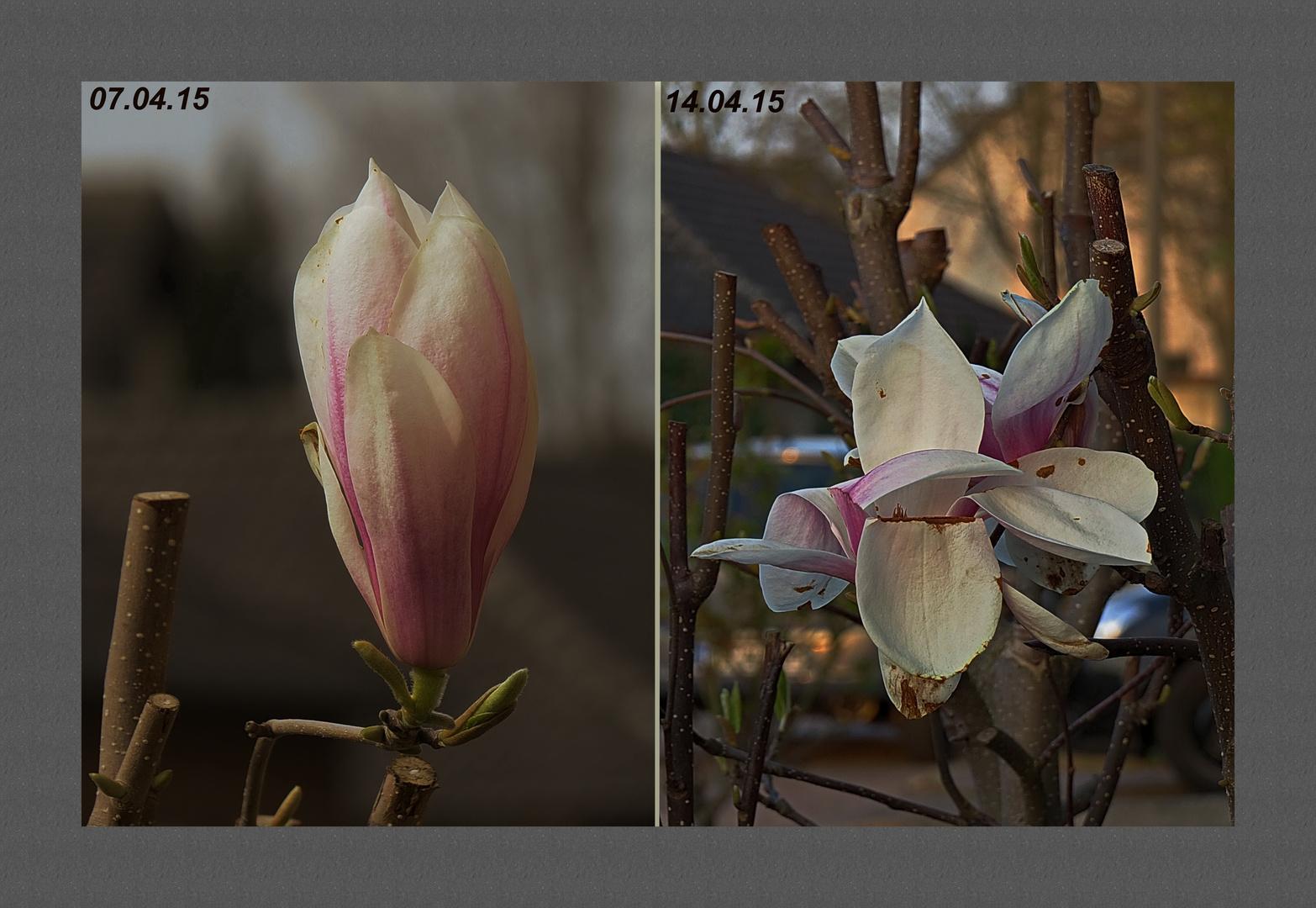 kurzes Blütendasein für Magnolie,