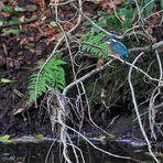 Kurzes Date mit dem Kingfisher