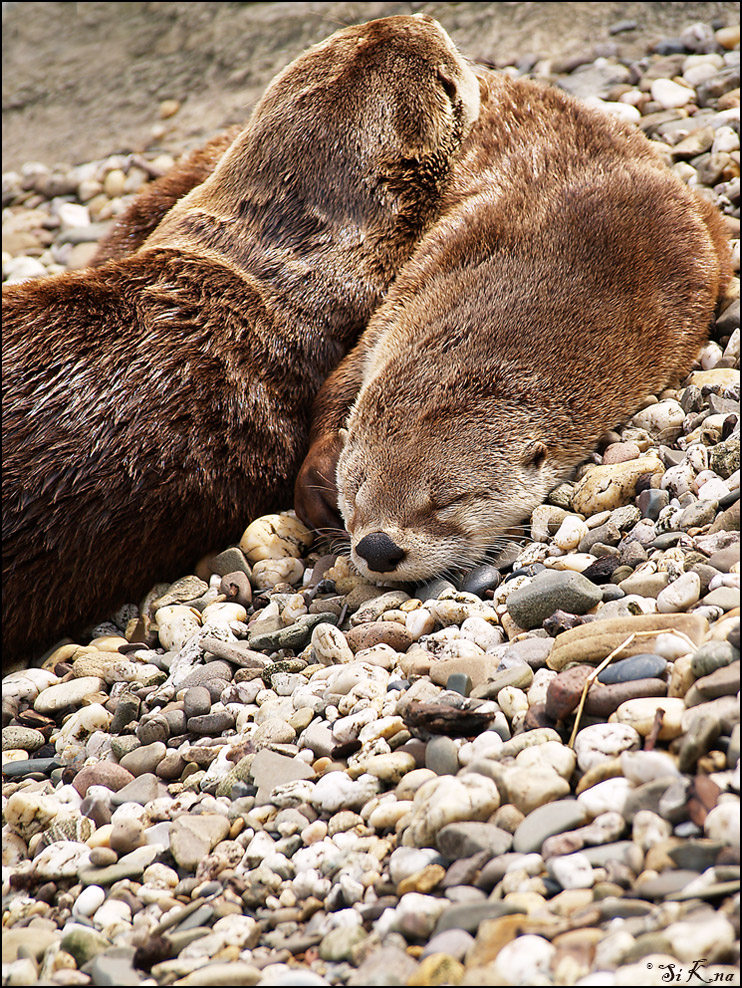 Kuschel-Otter