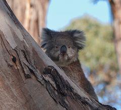 Kuschelohr - Koala