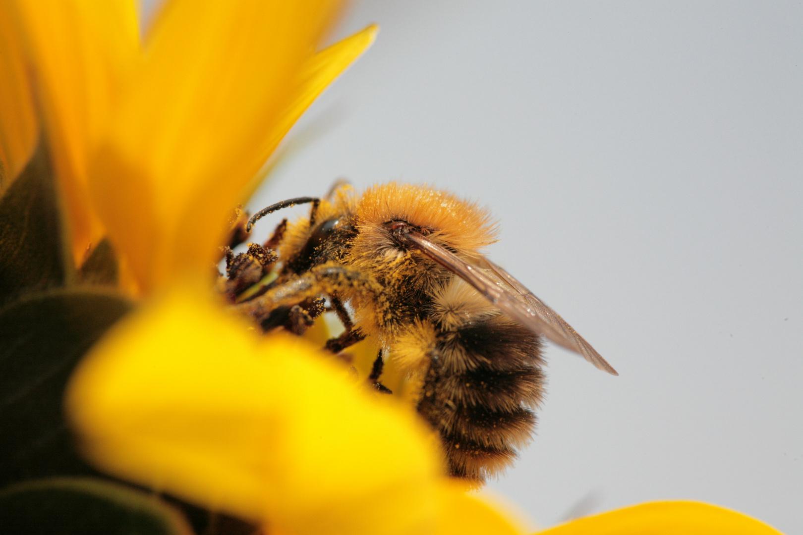 Kuscheltier Biene