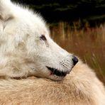 Kuschelzeit bei Wölfen
