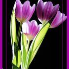 Kussechte Tulpen