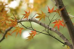 Kyoto, MOMIJI_ Herbstlaub im Heian Jingu Shrine Garten