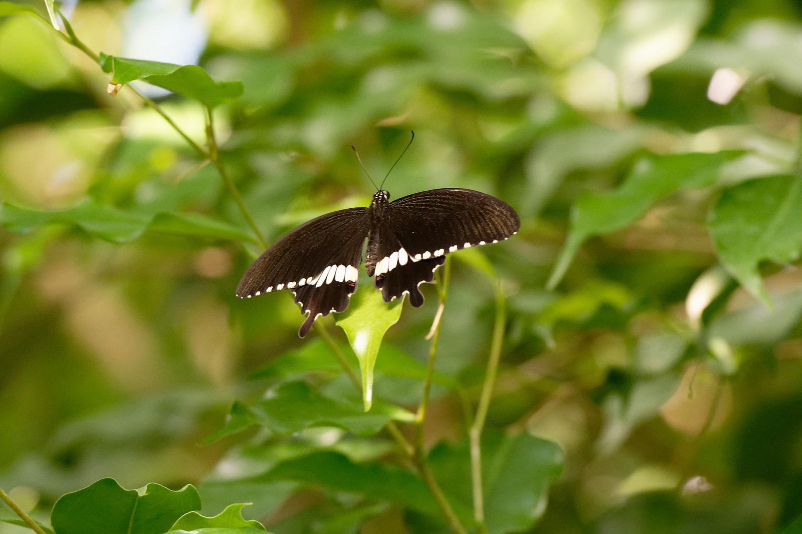 KZ7_2966_Schmetterling