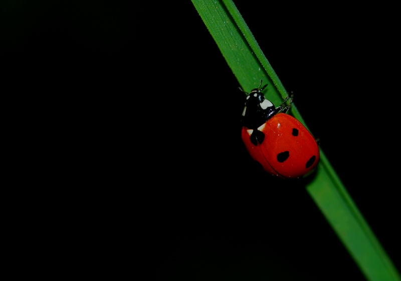 Kêzika Xalo ( Ladybug )