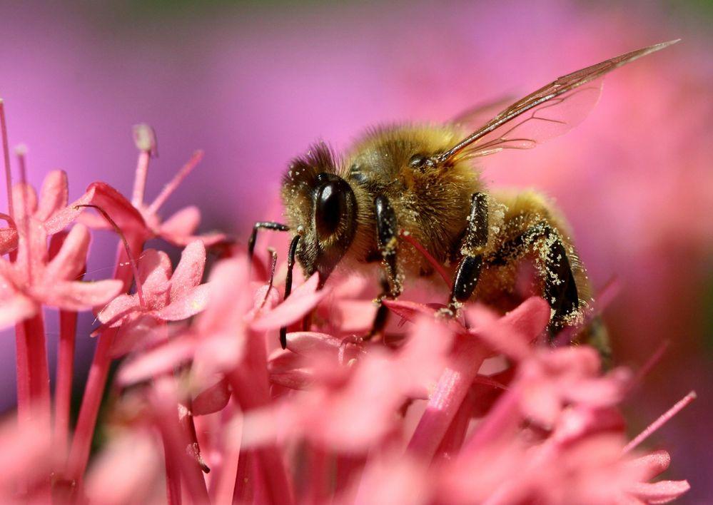 l' abeille