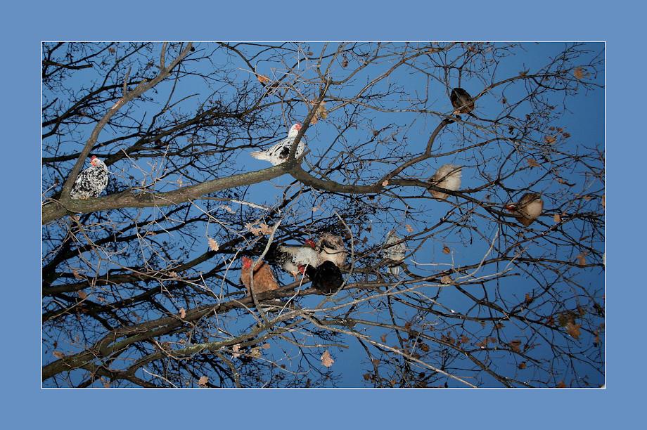 L' albero dei polli