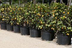 l allée des citronniers